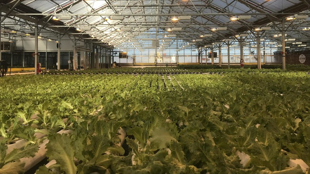 120375_Lettuce-fields-on-Gotham-Green-growth-floor.jpg