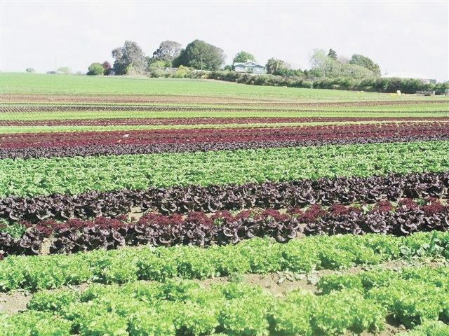 New Zealand field grown lettuce.