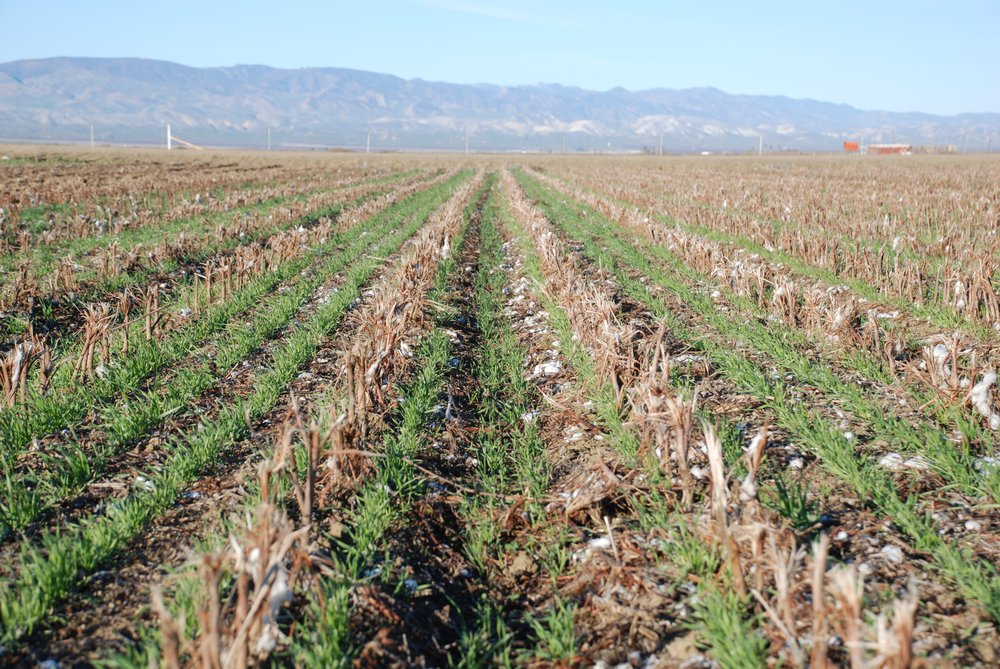 A cover crop growing in cotton and tomato residues in a no-till agricultural field. (Source:  UC ANR )