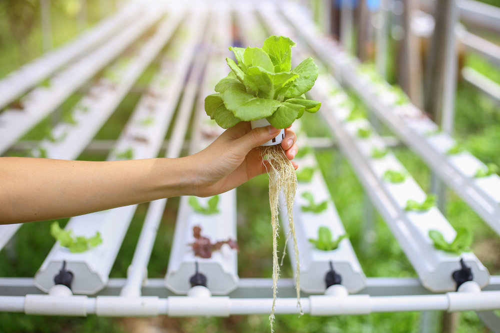 hydroponic lettuce.jpg