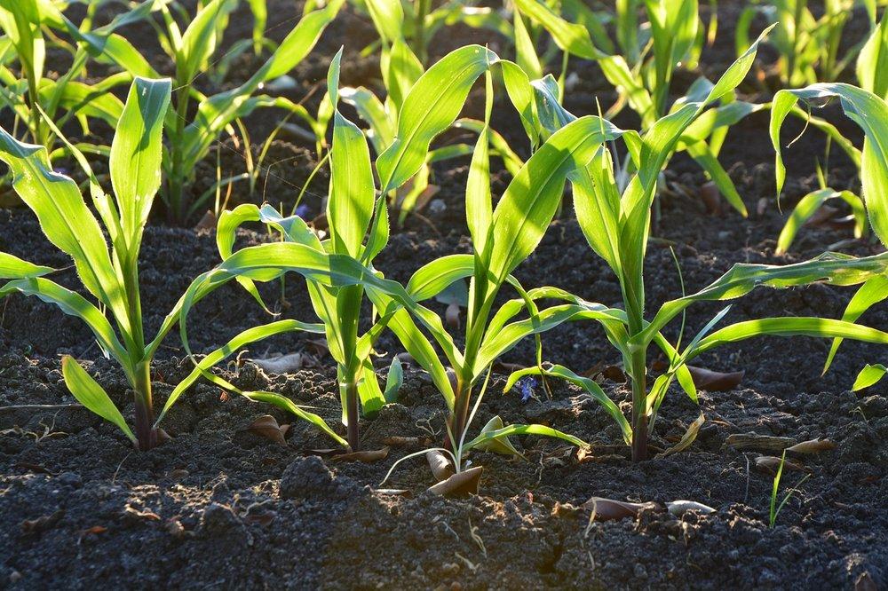 corn-1841271_1280.jpg