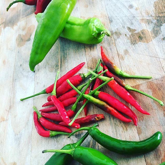 Working on taco sauces for winter service.  #elpelontacos with guajillo, hatch, arbol, serrano, poblano from @plowandstarsfarm
