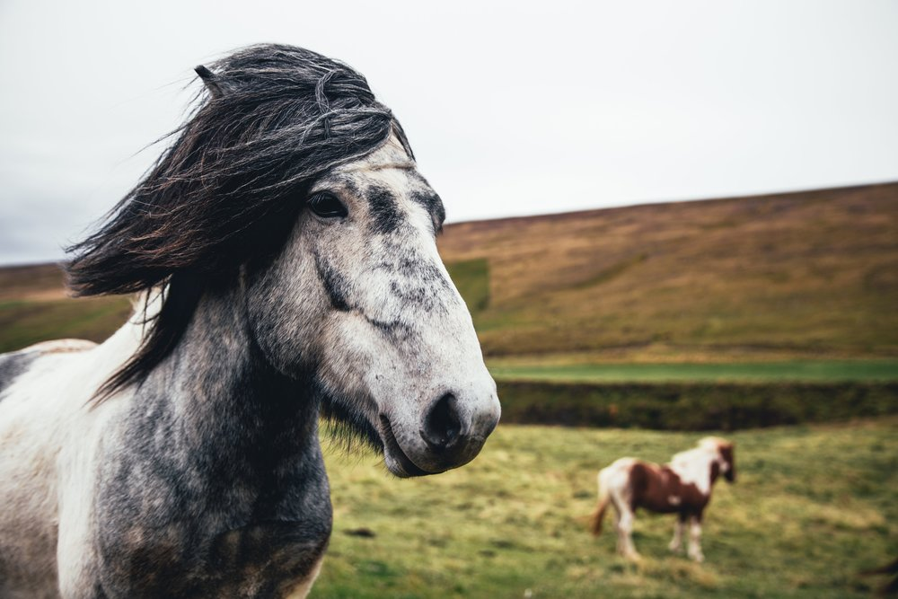 grey-white-horse_4460x4460.jpg