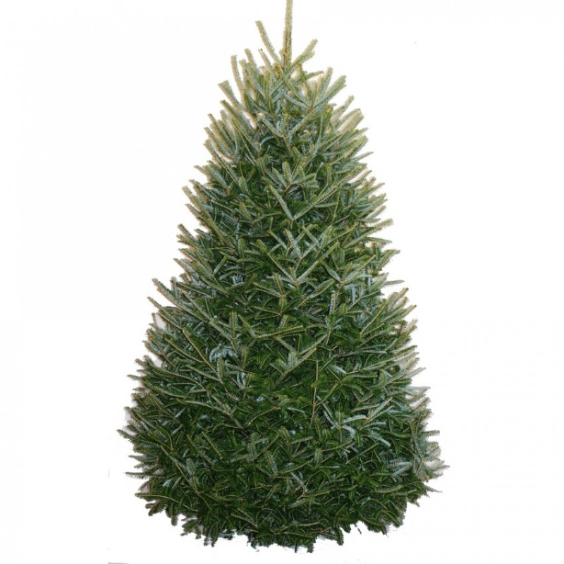 2. Fraser Fir - Known for its pleasant scent, the yellow-green branches of the fraser fir feature a conical shape with branches that angle slightly upward. The branches of the fraser fir are also known for being extra sturdy, making this Christmas tree a great option for heavy ornaments, Christmas garland and holiday decor. Its leaves are needle-like and spiral along the trunk of the tree, giving off a fragrant scent. The fraser fir typically grows anywhere up to 50 feet tall.