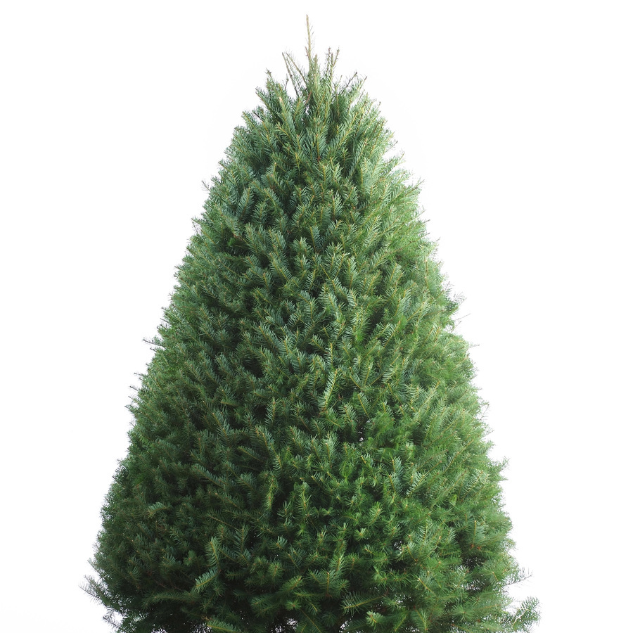 4. Douglas Fir - A douglas fir will make a statement in your home. This fir tree displays a full pyramid shape with blue or dark green leaves that have one of the richest scents of all the Christmas trees. Leaves of this evergreen are flat, soft and tend to grow in bunches. Douglas firs grow from medium-sized to extremely large anywhere up to 330 feet tall. Fun fact, the douglas fir makes up nearly half of all Christmas trees grown in the United States.