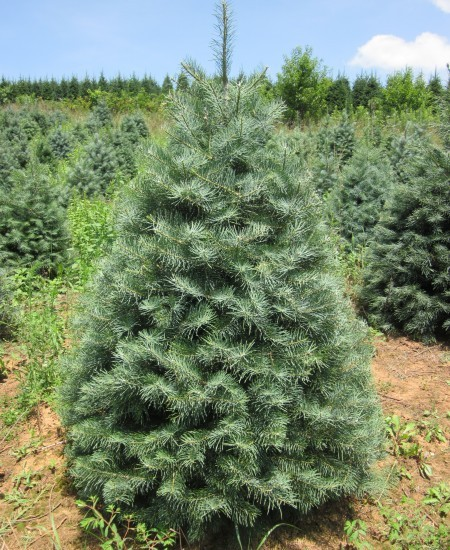 7. Concolor Fir - The concolor fir is often referred to as the white fir. It's known for its flattened, needle-like leaves that are pointed at the tip. When it's young, the concolor fir features more blue-green colored leaves, but as it gets older the leaves turn into a duller green hue. The concolor fir can grow up to 195 feet tall.