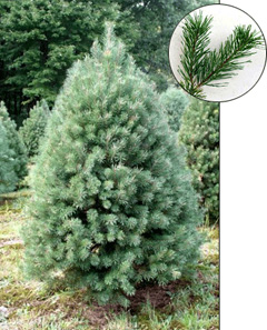9. Scotch Pine - Also referred to as the scots pine, this pine tree is another common Christmas tree option. Dark green foliage and sturdy branches equip the scotch pine: perfect for plenty of Christmas lights and decorations. This pine tree can grow anywhere up to 115 feet tall. The needles range in color from blue-green to a darker green in the winter months and grow in fascicles or bunches of two. The scotch pine is also known for its long term needle retention, meaning less clean up for you when Christmas ends. Fun fact, it's also the national tree of Scotland.