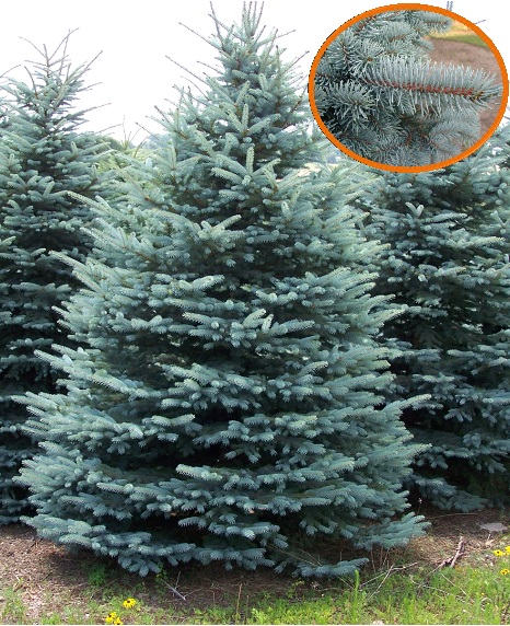 "11. Blue Spruce - The blue spruce, also known as the Colorado blue spruce, is loved for its waxy gray-blue needles that tend to curve upwards. Native to the Rocky Mountains of the United States, this spruce tree features dense foliage that grows in a conical shape anywhere up to 75 feet tall. The blue spruce is said to have ""the perfect Christmas tree shape."" Fun fact, the blue spruce is the state tree of Colorado."