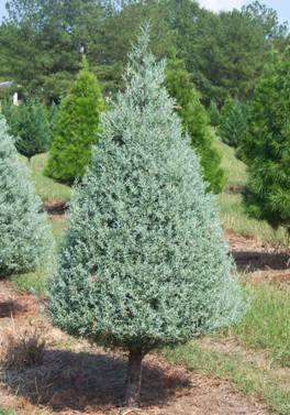 14. Arizona Cypress - As the name implies, the Arizona cypress is native to the Southwestern United States. It is a medium-sized evergreen tree that can grow up to 60 feet tall. Leaves of this particular cypress are a bluish-gray color on branches that grow in a conical shape.