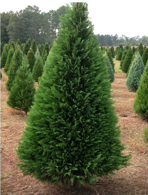 15. Leyland Cypress - The leyland cypress has feathery leaves that are greenish-gray in color and grow upward, giving the tree a pyramid-like shape. This particular cypress does not give off any aroma, so if you're looking for a Christmas tree with a delightful scent, the leyland cypress might not be the one for you. On the plus side, the lack of fragrance can be great for those with allergies. This fast-growing tree will grow up to heights of 70 feet tall.