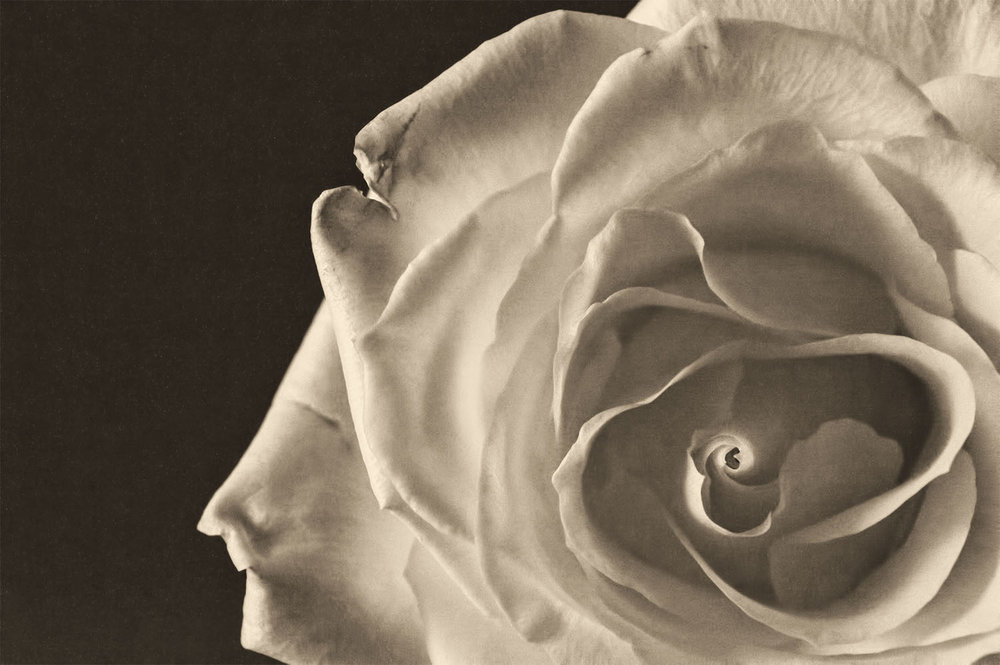 Sepia Toned White Rose Photograph