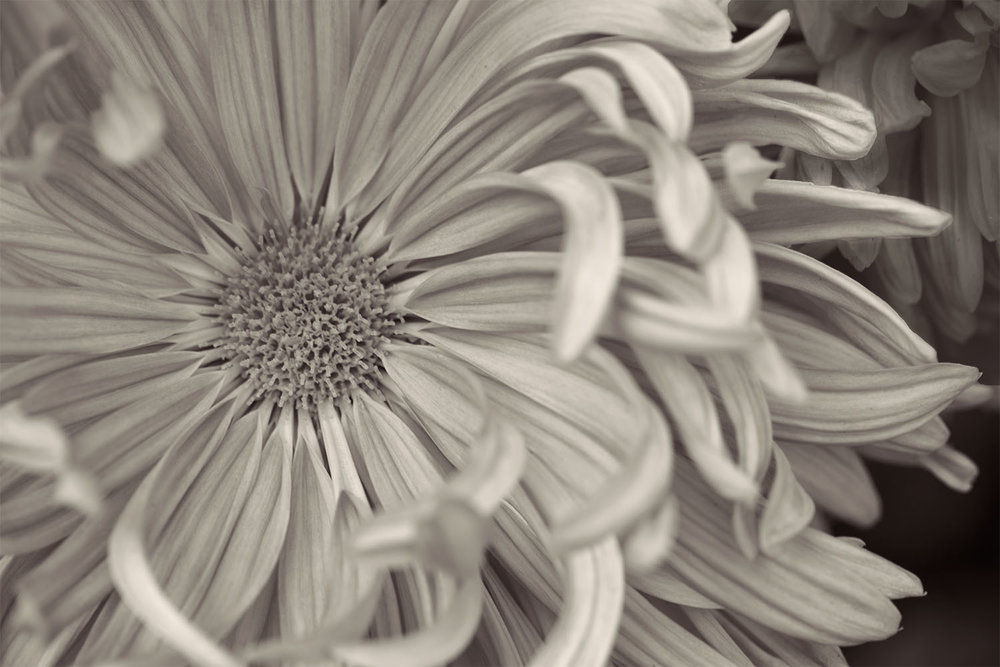Sepia Toned Mumm, Chrysanthemum Flower