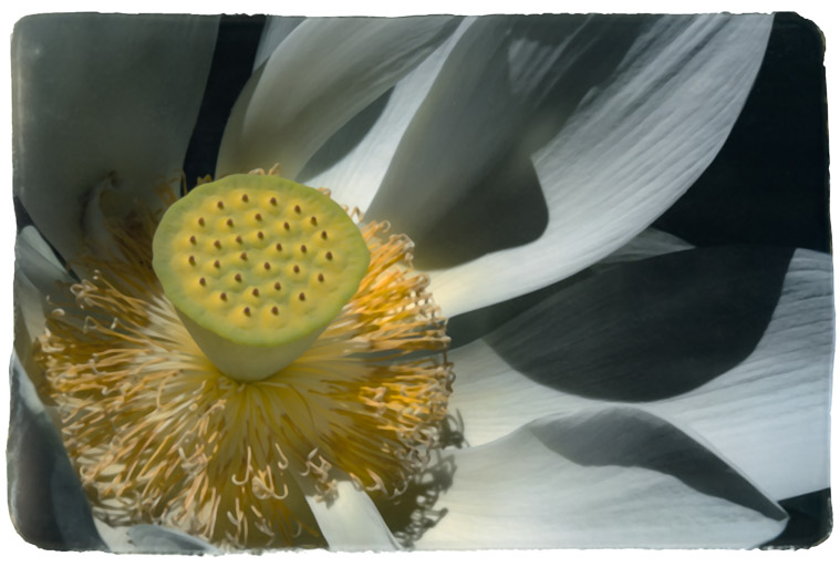 Photograph painted with light and color of Lotus Flower, (Water Lily) macro photo of partial flower.   Stamen and pistil visible.