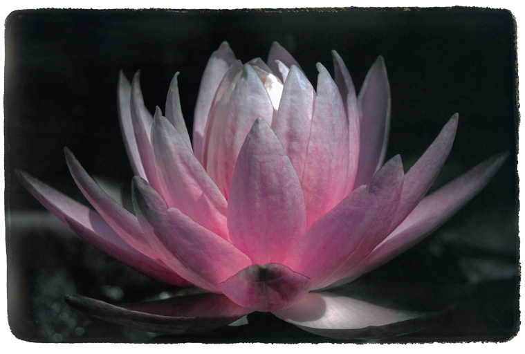 Photograph painted with light and color of Water Lily, macro photo of entire flower.