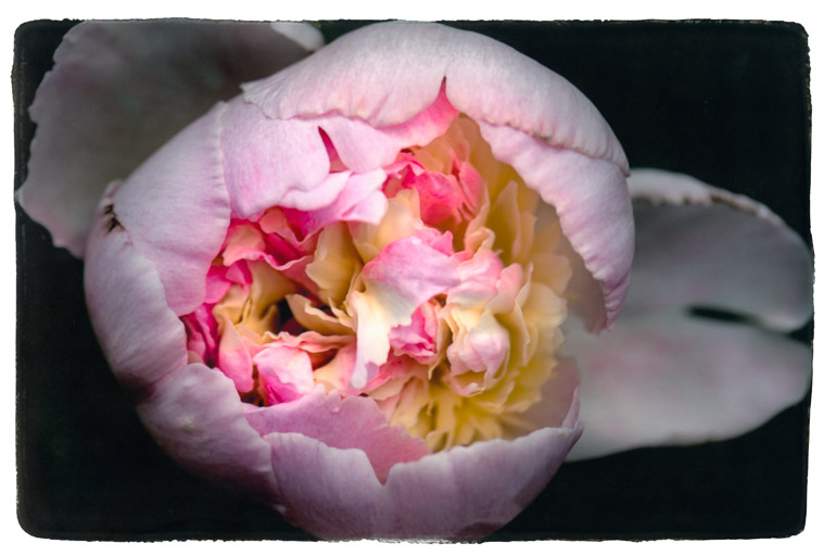 Photograph painted with light and color of pink and yellow peony, macro photo of the flower.