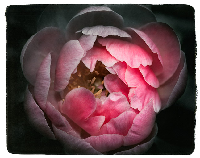 Photograph painted with light and color of pink peony, macro photo of the flower. Can be part of a triptych.