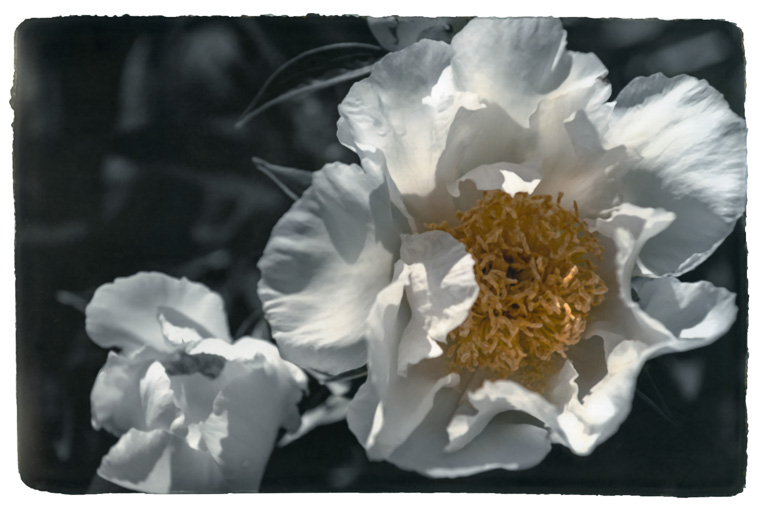 Photograph painted with light and color of white peony, macro photo of the flower.   Stamen and pistil visible.