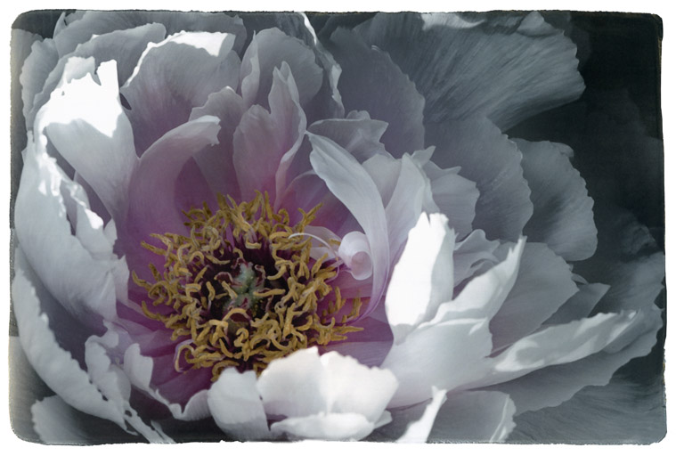 Photograph painted with light and color of white and pink peony, macro photo of the flower.   Stamen and pistil visible.
