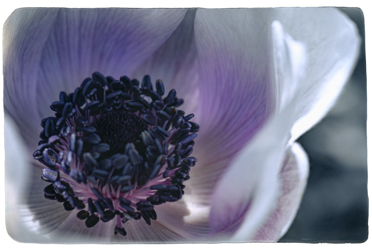 Photograph painted with light and color of lavender purple poppy, macro photo of the flower.  Stamen and pistil visible.