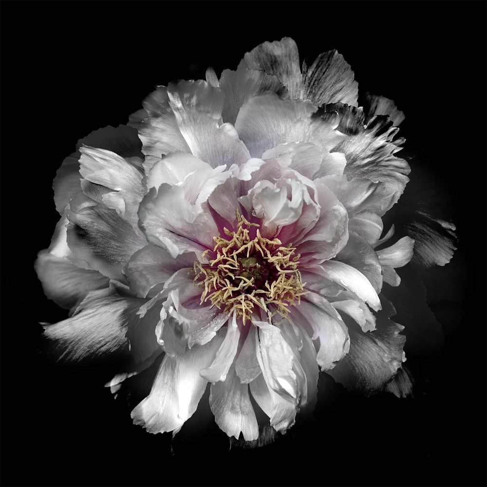 White Peony Flower Photograph