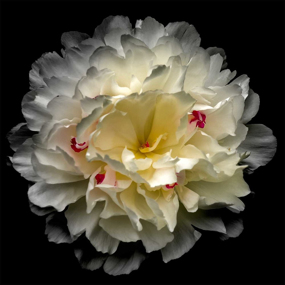 White and Yellow Peony Photograph
