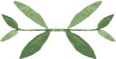 Medium Thyme 40W.png