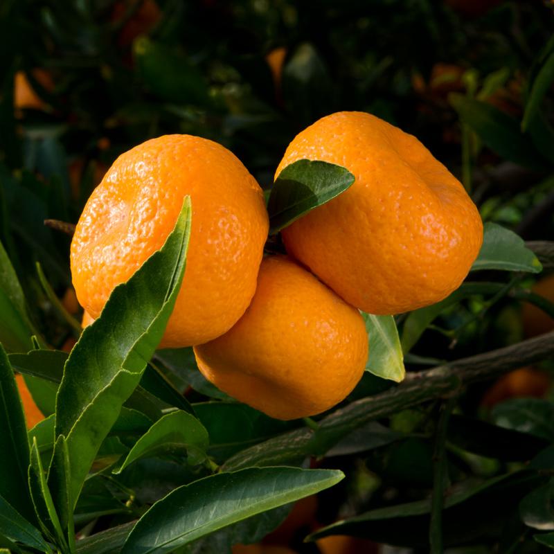 W-59-Kishu-Mandarin-Orange.jpg