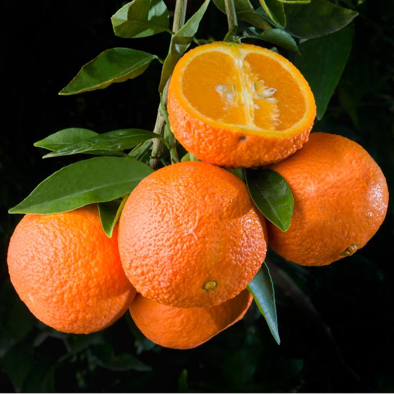 W-63-Tangor-Temple-Orange.jpg