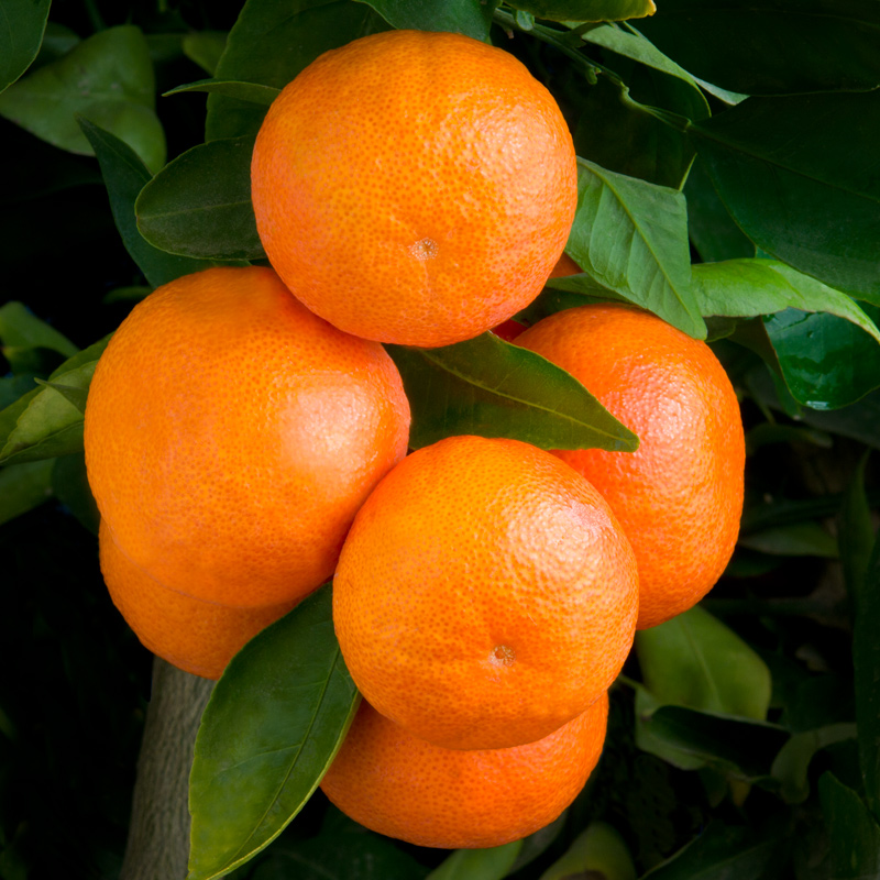 W-68-Dancy-Mandarin.jpg