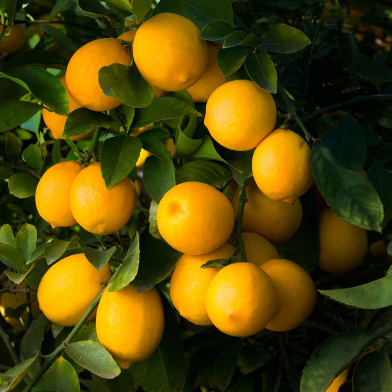 W-53-Meyer-Lemon.jpg