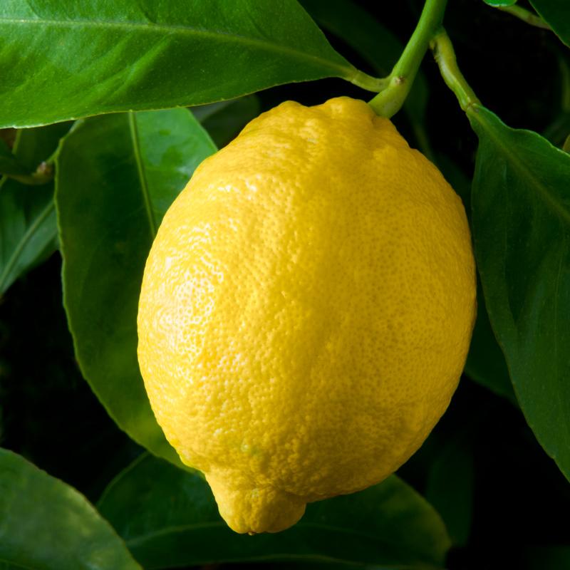 W-69-Lupe-Lisbon-Lemon.jpg