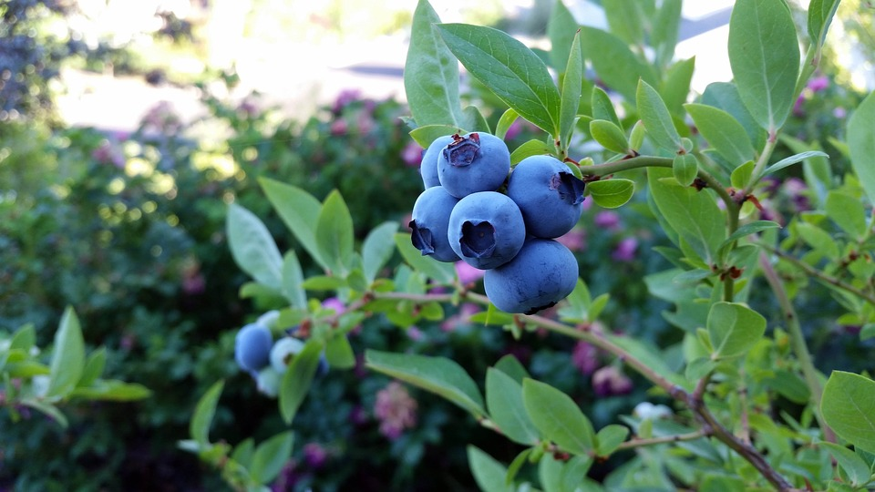 Blueberries grown organic at murray family farms for healthy choices.jpg