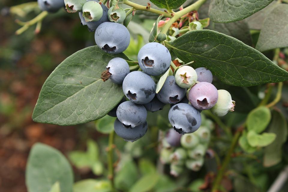 Vaccinium-Exotic-Fruits-Blueberry-2770788.jpg