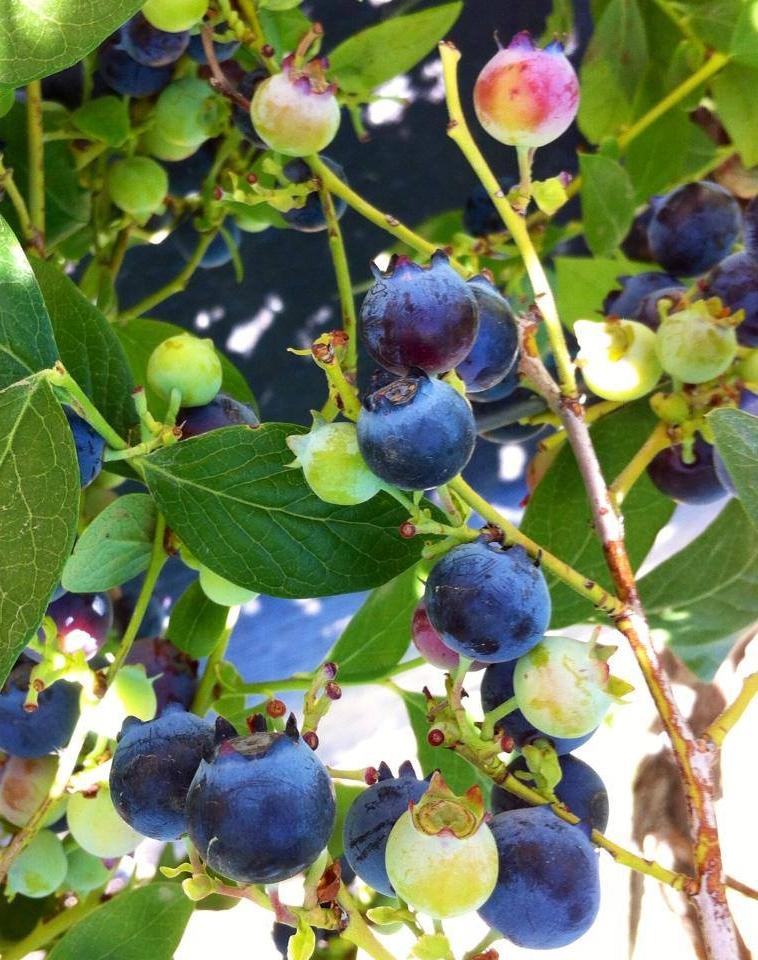 Blueberry Crown.jpg