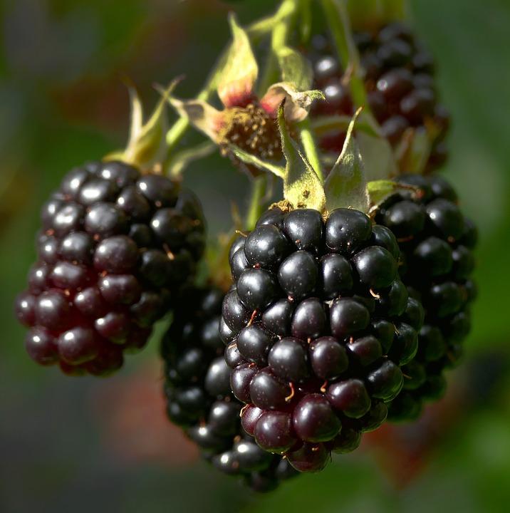 blackberries  Murray Family Farms Raspberry Boysenberry Organic.jpg