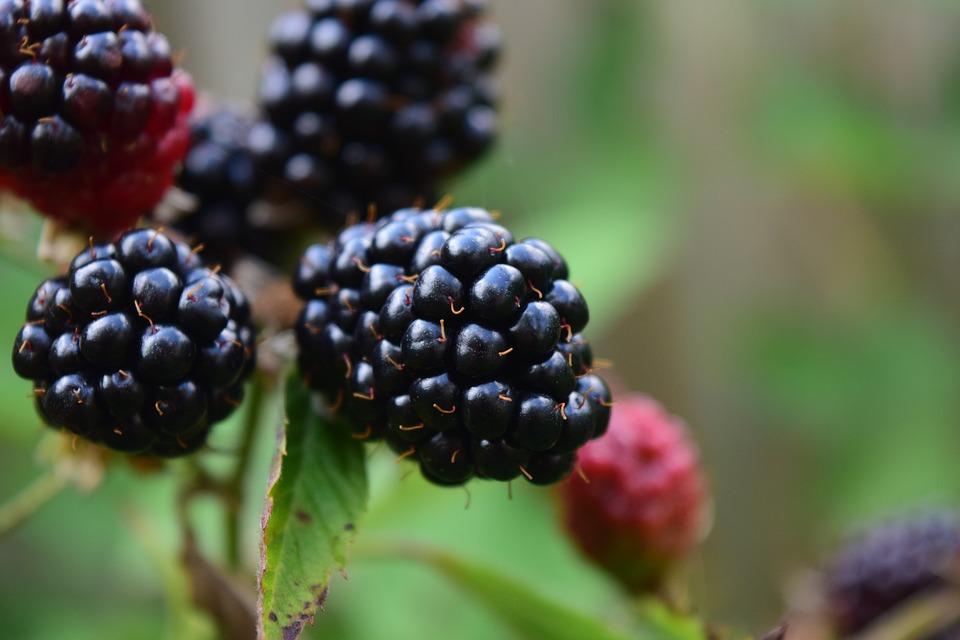 blackberries  Murray Family Farms Healthy nonGMO Organic Berryfest Entertainment for families.jpg