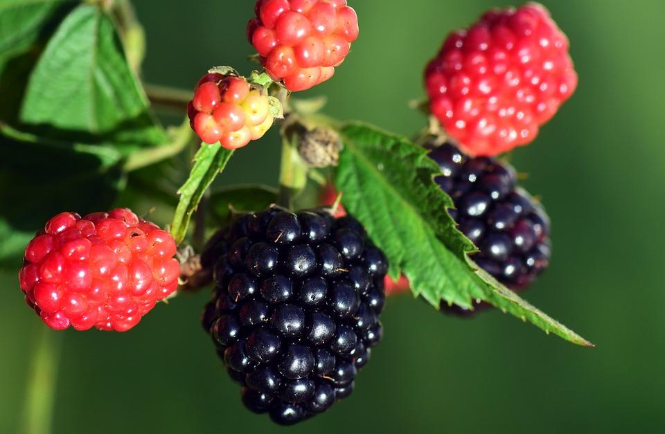blackberries  Murray Family Farms Raspberry Boysenberry Organic growing and unripe.jpg