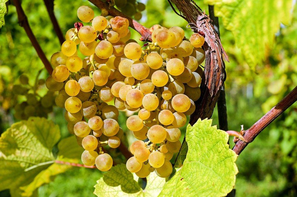 Summer Muskat grapes.jpg