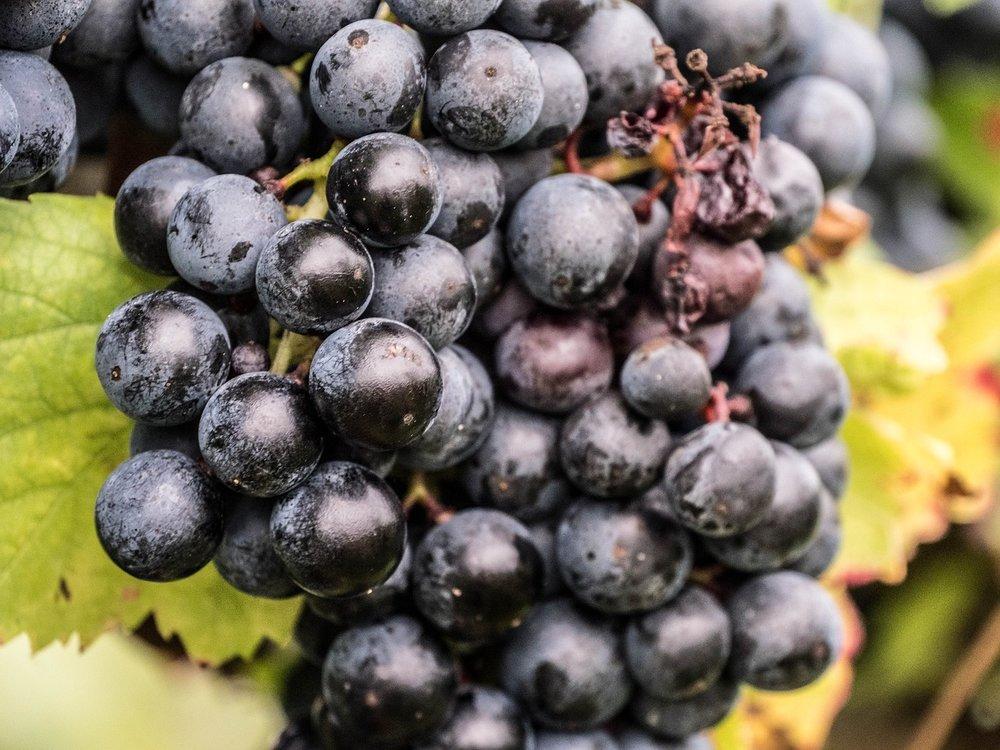 Concord Grapes.jpg