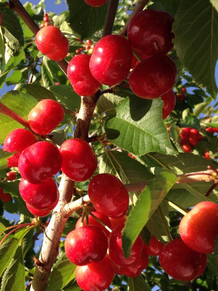 cherry brooks.jpg