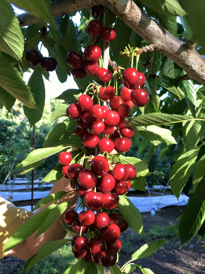 cherry bunch.jpg