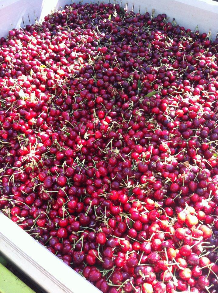 Cherry Extensive.jpg