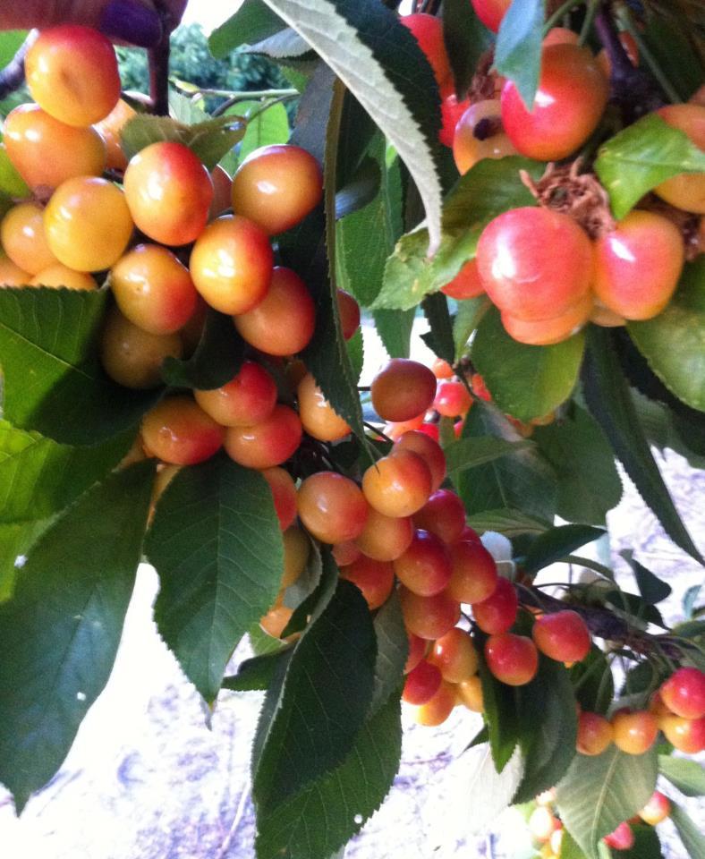 cherrys etc.jpg
