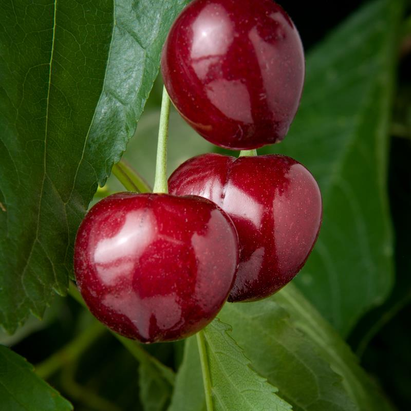 Fruit Spotlight Cherries Murray Family Farms