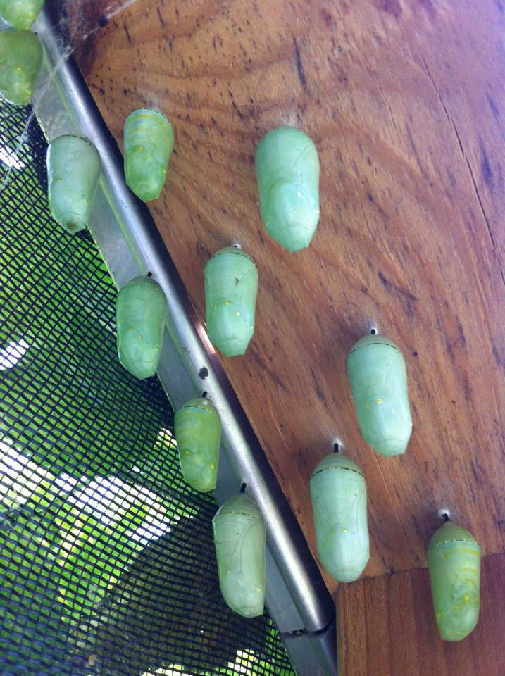 Monarch Butterfly Pupae.jpg