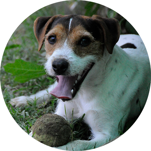 Jack Russel terrier puppy board and train positive reinforcement dog training in Redding, Anderson, Cottonwood, Red Bluff, Palo Cedro, Bella Vista and Shasta Lake City, CA areas.
