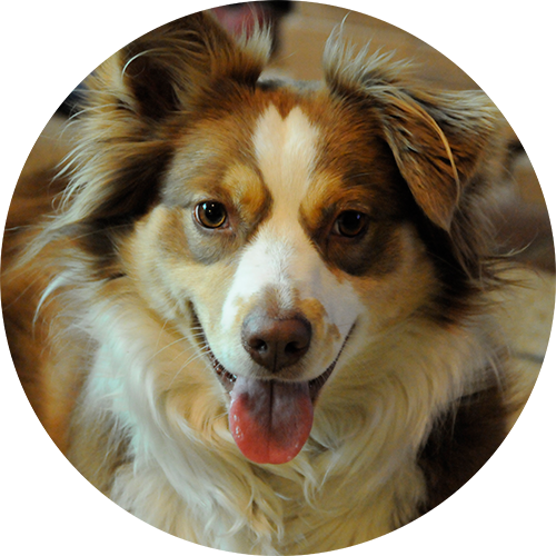 Best border collie working dog trainer and australian aussie shepherd training in Redding, CA, Anderson, Cottonwood, Red Bluff, Palo Cedro, Bella Vista and Shasta Lake City areas.