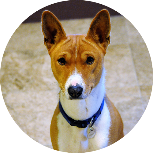 Basenji puppy and dog positive reinforcement clicker training in Redding, CA, Anderson, Cottonwood, Red Bluff, Palo Cedro, Bella Vista and Shasta Lake City areas.