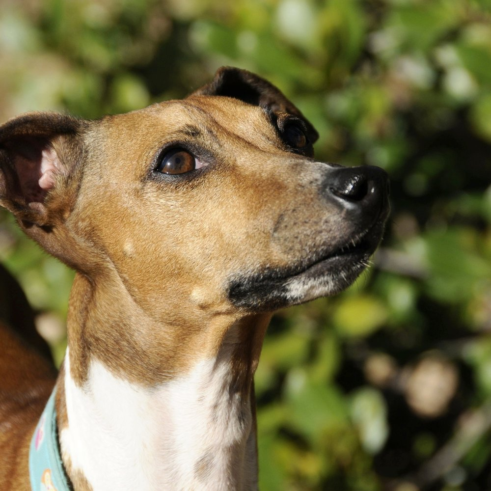 The best dog board and train and in-home boarding for your italian greyhound in Redding, Anderson, Cottonwood, Red Bluff, Palo Cedro, Bella Vista and Shasta Lake City, CA areas.