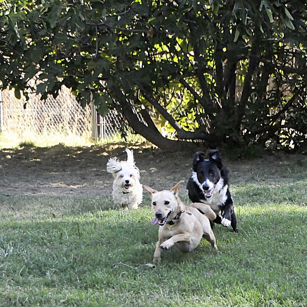 Happy playing dogs at board and train and in-home boarding- border collie, maltese, terrier, chihuahua, small dogs, anxious dog, in Redding, Anderson, Cottonwood, Red Bluff, Palo Cedro, Bella Vista and Shasta Lake City, CA areas.